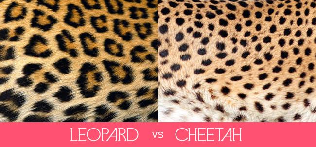 leopardvscheetahspots